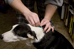 Can You Get Fleas From Your Pet?