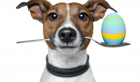 Why chocolate is dangerous for pets
