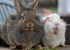 Guinea Pig v Rabbit