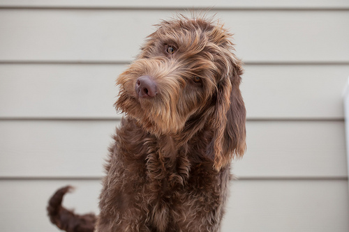 What is a Labradoodle? And Other Unusual Crossbreeds