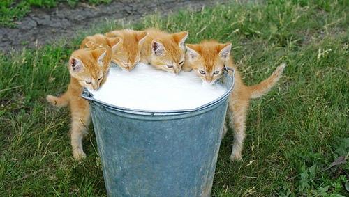 Kittens Drinking Milk