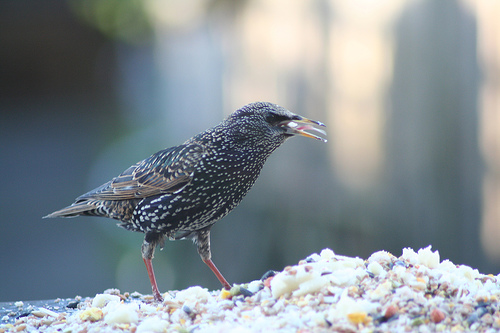 starling on a bird table