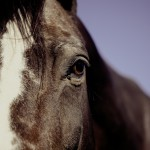 What is PPID? (formerly known as Equine Cushing's Disease)