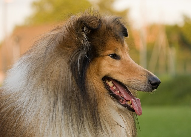 Small Lassie Dogs Called
