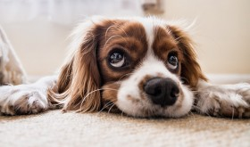 How Can I Stop My Dog/Puppy Weeing In The House?