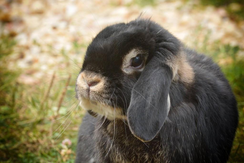 ram-rabbit-2744826_1920