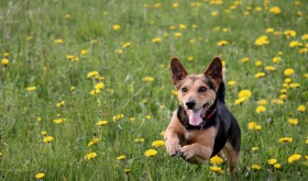 Dogs with hay fever – how to spot & treat the symptoms