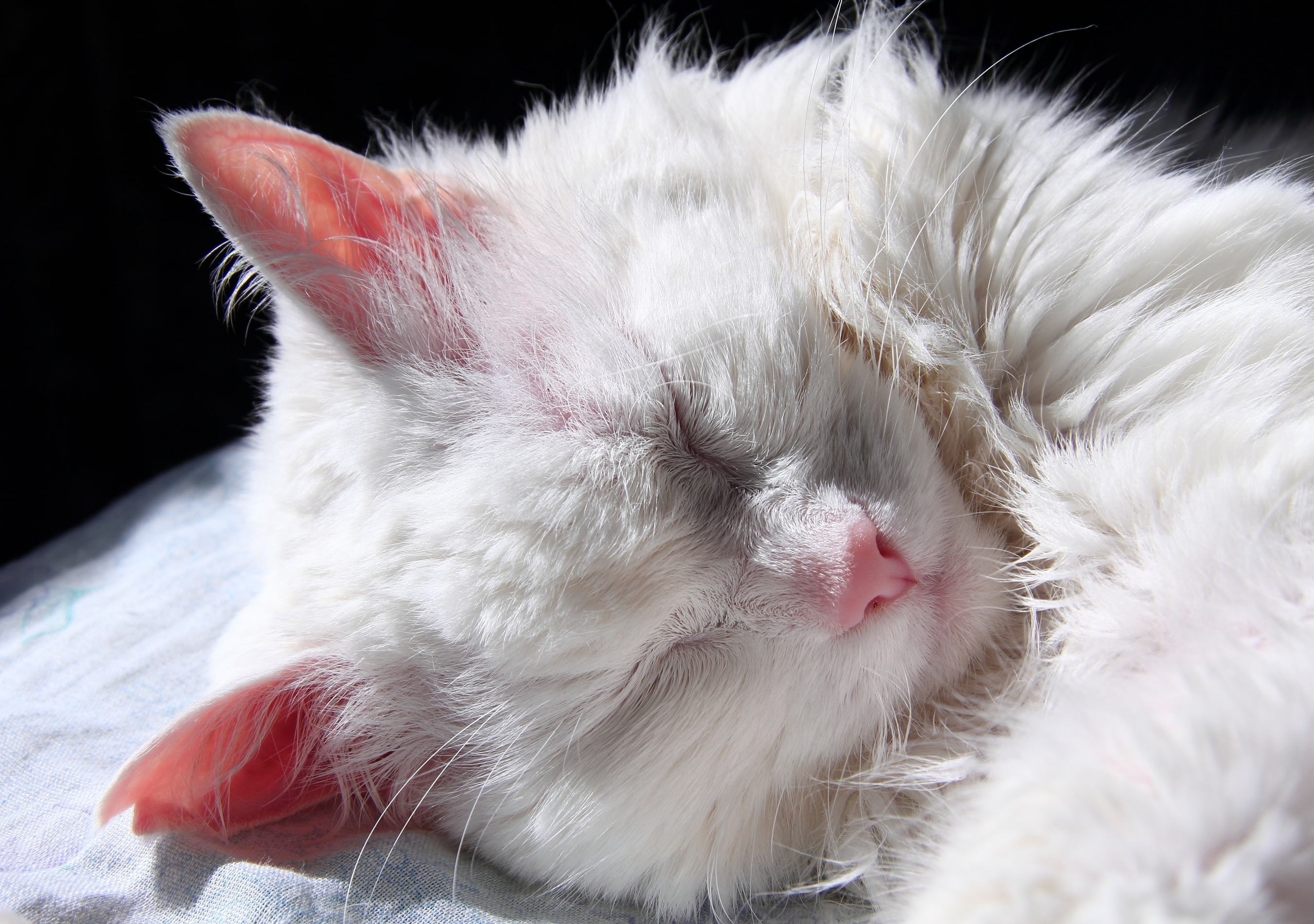 Can White Cats Get Skin Cancer On Their Ears Animed Direct