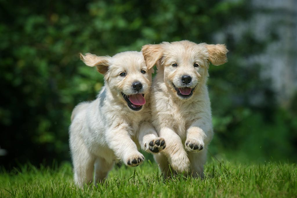 shutterstock_145368028-Puppies-for-Adaptil-Blog