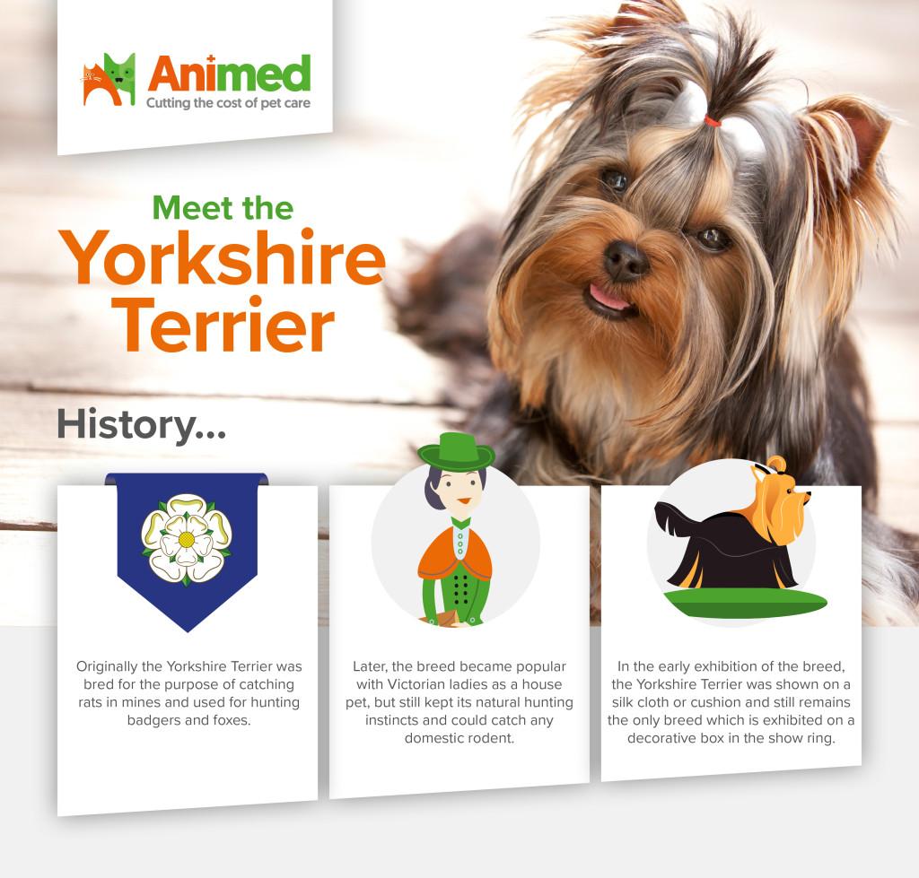 Meet the Yorkshire Terrier