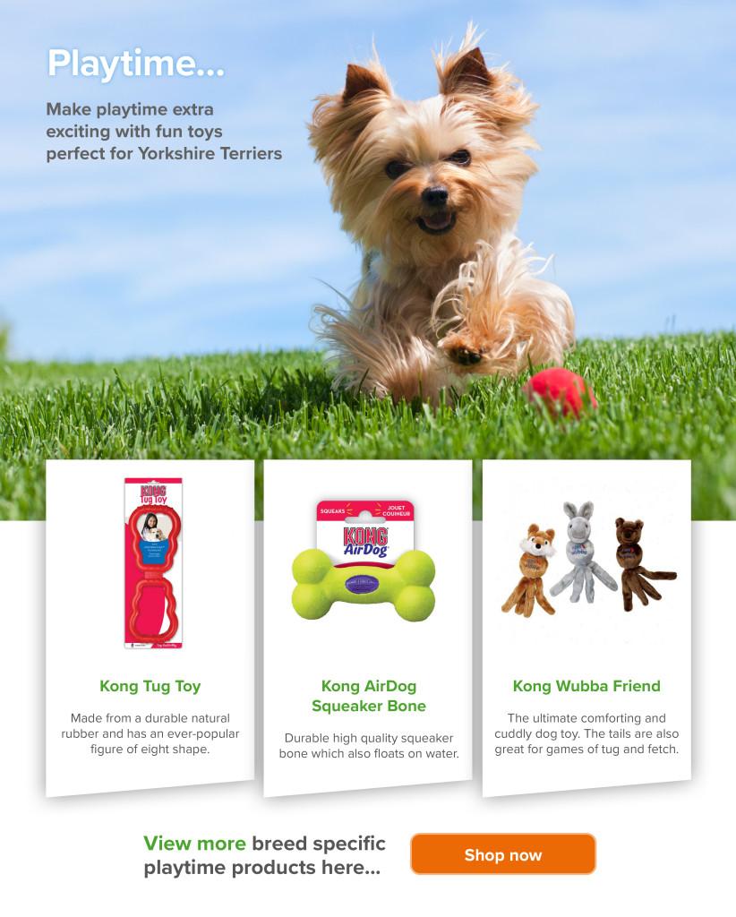 Yorkshire terrier playtime