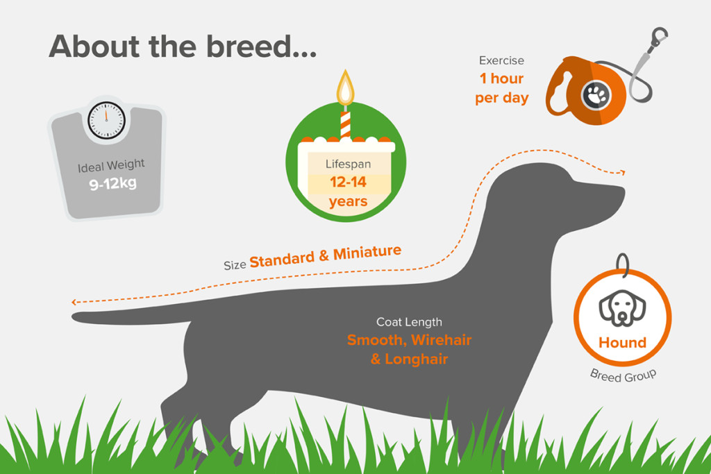 Dachshund About the breed