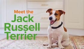 Breed Spotlight| Jack Russell Terrier