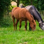 What does a diagnosis of Equine Cushing's disease mean for your horse?